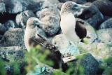 Galapagos Island - Blue footed boby